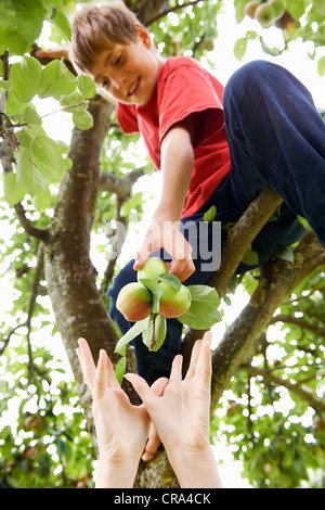 Children picking fruit from tree - Stock Photo