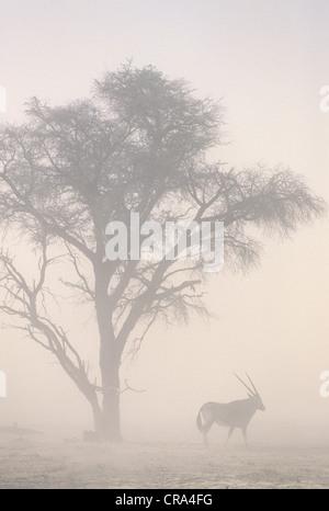 Global warming, sandstorm and gemsbok at 45C temperatures, Kgalagadi Transfrontier Park, South Africa