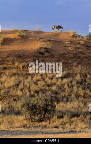 Gemsbok (Oryx gazella), on red sand dune, Kgalagadi Transfrontier Park, Kalahari, South Africa, Africa - Stock Photo