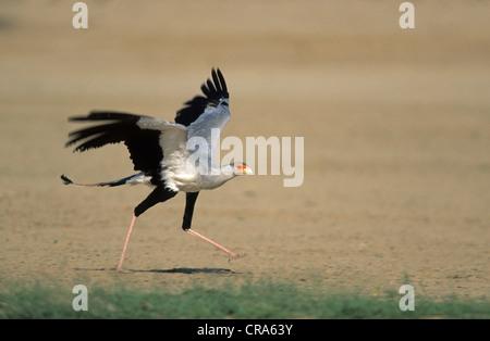 Secretarybird or Secretary Bird (Sagittarius serpentarius), taking off, Kgalagadi Transfrontier Park, Kalahari, - Stock Photo