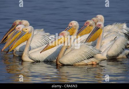 Great White Pelican (Pelecanus onocrotalus), flock, Mkuze Game Reserve, Zululand, KwaZulu-Natal, South Africa, Africa - Stock Photo