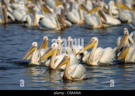 Great White Pelican (Pelecanus onocrotalus), large flock, Mkuze Game Reserve, Zululand, KwaZulu-Natal, South Africa, - Stock Photo