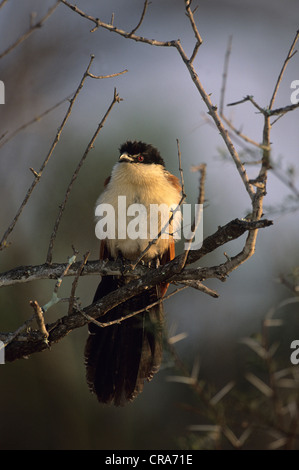 White-browed Coucal (Centropus superciliosus), Kruger National Park, South Africa, Africa - Stock Photo