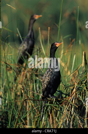 Reed Cormorant or Long-tailed Cormorant (Phalacrocorax africanus), Wakkerstroom, South Africa, Africa - Stock Photo
