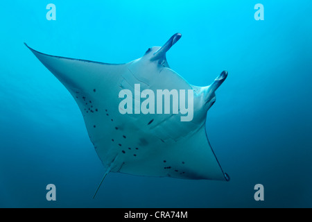 Manta Ray (Manta birostris) swimming in blue water, Great Barrier Reef, UNESCO World Heritage Site, , Australia, - Stock Photo