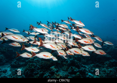 School of Humpback Red Snappers (Lutjanus gibbus) swimmimg in front of coral reef, Great Barrier Reef - Stock Photo