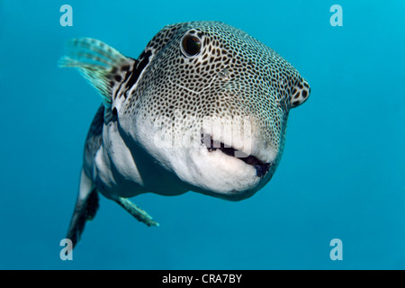 Starry Toadfish (Arothron stellatus) swimming in blue water, Great Barrier Reef, UNESCO World Heritage Site, , Australia - Stock Photo
