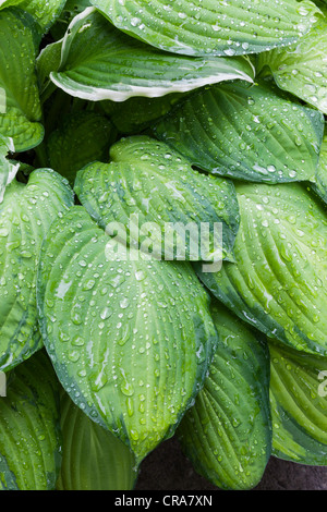 HOSTA LEAVES WITH RAINDROPS IN SUMMER GARDEN UK - Stock Photo