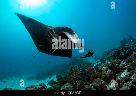Scuba diver observing a black Manta Ray (Manta birostris) swimming above a coral reef, Great Barrier Reef - Stock Photo