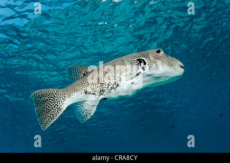 Stellate Puffer or Starry Toadfish (Arothron stellatus), swimming in open water, Great Barrier Reef, UNESCO World - Stock Photo