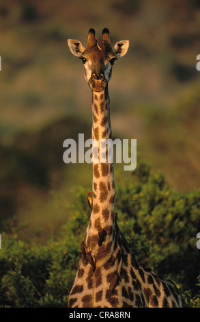 Giraffe (Giraffa camelopardalis), with Red-billed Oxpeckers (Buphagus erythrorhynchus), Kruger National Park, South - Stock Photo