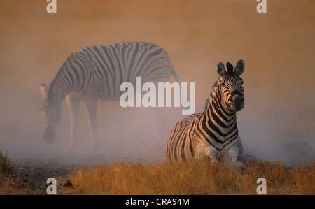 Plains zebra or Burchell's Zebra (Equus quagga), dustbathing, Etosha National Park, South Africa, Africa - Stock Photo