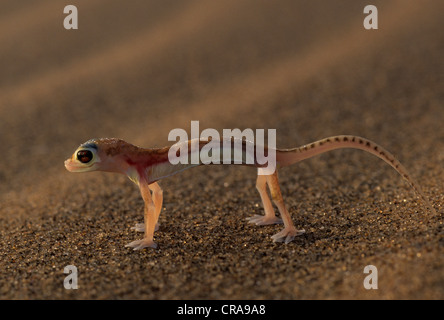 Web-footed Gecko (Palmatogecko rangei), Namib-Naukluft Park, Namibia, Africa - Stock Photo