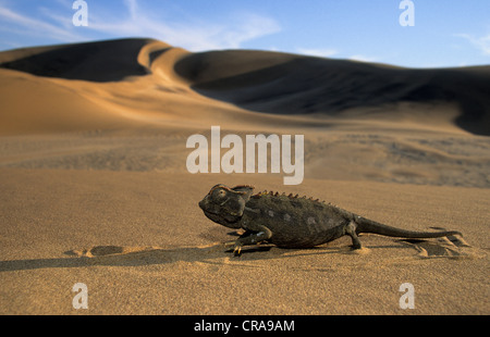 Namaqua Chamaeleon (Chamaeleo namaquensis), in the desert, Namib Desert, Namibia, Africa - Stock Photo