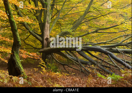 Autumnal Urwald Sababurg primeval forest, Reinhardswald, Hofgeismar, North Hesse, Germany, Europe - Stock Photo