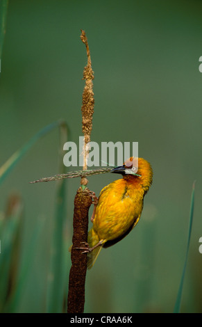 Cape Weaver (Ploceus capensis), collecting nest material, KwaZulu-Natal, South Africa, Africa - Stock Photo