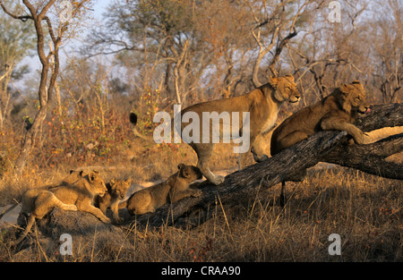 Lion pride (Panthera leo), Sabie Sabie, Kruger National Park, South Africa, Africa - Stock Photo