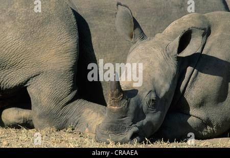 White Rhino calf (Ceratotherium simum), Hluhluwe-Umfolozi Reserve, South Africa, Africa - Stock Photo
