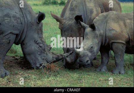 White Rhino (Ceratotherium simum), family group with calf, endangered species, Hluhluwe-Umfolozi Park, Zululand, - Stock Photo