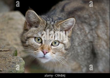 Wild Cat (Felis silvestris), portrait, Bavarian Forest National Park, enclosed area, Neuschoenau, Bavaria, Germany, - Stock Photo