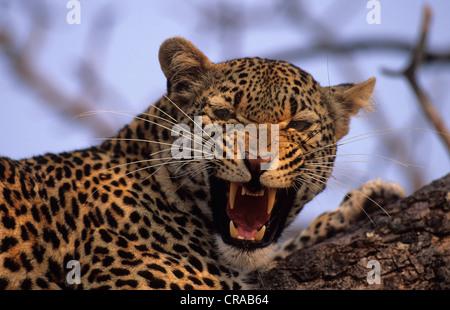 Leopard (Panthera pardus), snarling, Sabi Sabi, Greater Kruger National Park, South Africa - Stock Photo