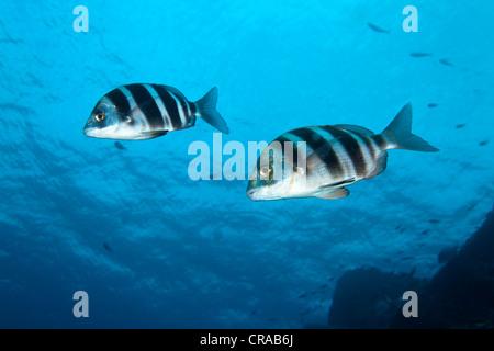 Zebra Sea Bream, (Diplodus cervinus), Madeira, Portugal, Europe, Atlantic, Ocean - Stock Photo