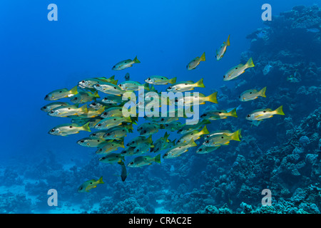 Shoal of blackspot-snappers (Lutjanus ehrenbergii) swimming in front of a coral reef, Sharp Malahi, Egypt, Red Sea, - Stock Photo
