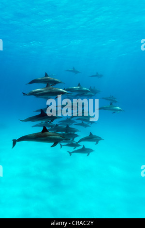 Shoal of spinner dolphins (Stenella longirostris), swimming in a lagoon, Sharp Samaday, Egypt, Red Sea, Africa - Stock Photo