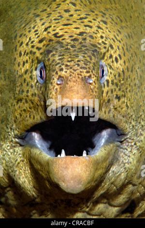 Giant Moray (Gymnothorax javanicus), portrait, Makadi Bay, Hurghada, Egypt, Red Sea, Africa - Stock Photo