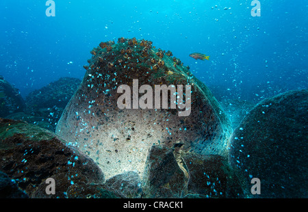 Rocks over a volcanic hot spot, white mineral deposits, hot springs, gas bubbles, overgrown, barnacles (Balanidae), - Stock Photo