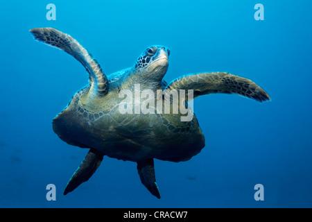 Green sea turtle (Chelonia mydas), Teodoro Wolf Island or Wenman Island, Galapagos Archipelago, Pacific - Stock Photo