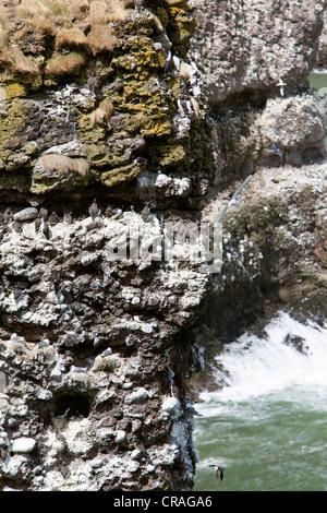 Guillemots nesting on sea cliffs at RSPB site, Fowlsheugh Stonehaven Scotland - Stock Photo