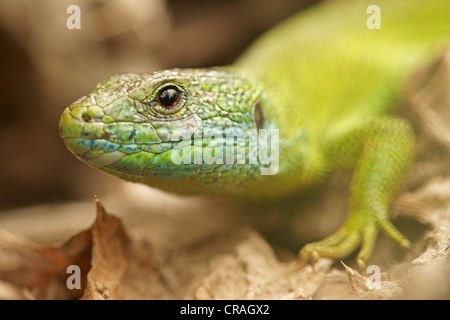 European green lizard (Lacerta viridis), Bulgaria, Europe - Stock Photo