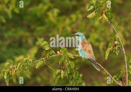 European Roller (Coracias garrulus), northern Bulgaria, Bulgaria, Europe - Stock Photo