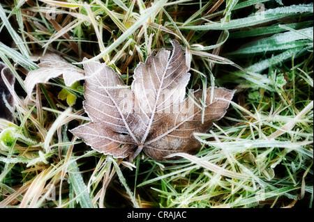 Frozen maple leaf on a meadow - Stock Photo