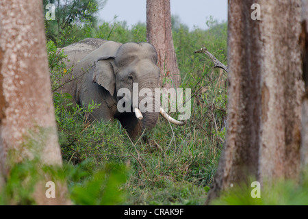 Asian or Asiatic elephant (Elephas maximus) in the forest, Kaziranga National Park, Assam, Northeast India, India, - Stock Photo