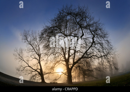 Plane Trees (Platanus) against the light at sunset, Konstanz district, Baden-Wuerttemberg, Germany, Europe - Stock Photo