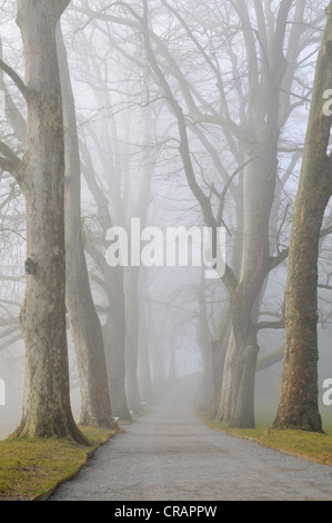 Plane Trees (Platanus) in fog on the island of Mainau, Konstanz district, Baden-Wuerttemberg, Germany, Europe - Stock Photo