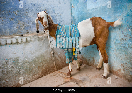 Goat with cloth on its back in front of a blue wall, old town of Varanasi, Uttar Pradesh, India, Asia - Stock Photo