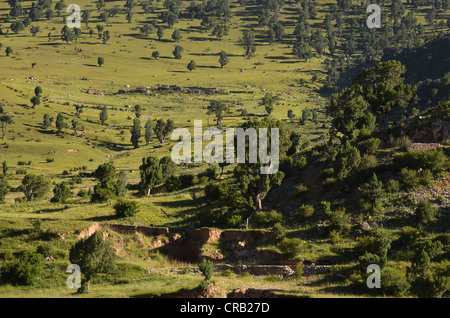 Centuries-old juniper trees in the mountains of Reting Monastery, Mount Gangi Rarwa, Himalayas, Lhundrup district, - Stock Photo