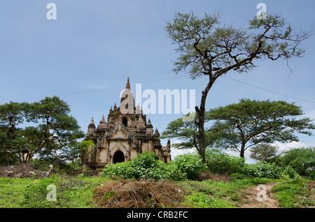 Tree and old buddhist pagoda, pagoda field, temple, Zedi, Bagan, Pagan, Nyaung U, Shwezigon Pagoda, Burma, Myanmar - Stock Photo