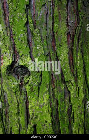 Moss on tree bark, background - Stock Photo