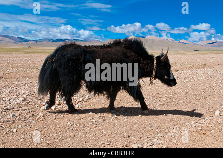 Yak in the wide open Tibetan landscape along the road from Tsochen to Lhasa, Western Tibet, Tibet, Asia - Stock Photo