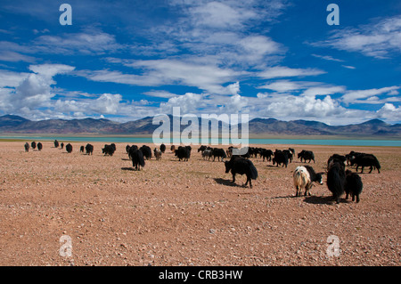 Yaks in the wide open Tibetan landscape along the road from Tsochen to Lhasa, Western Tibet, Tibet, Asia - Stock Photo