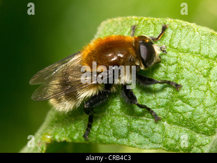 Narcissus bulb fly (Merodon equestris), a pest of garden bulbs. - Stock Photo