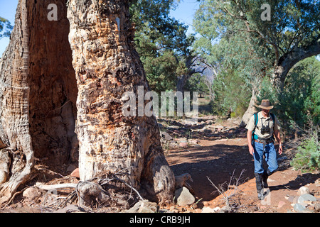 Hiking past a river red gum on the Arkaba Walk in South Australia's Flinders Ranges - Stock Photo