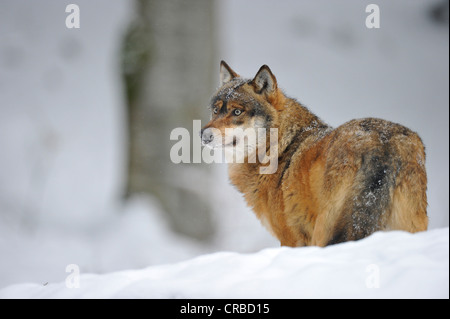 Mackenzie Valley Wolf, Canadian Timberwolf (Canis lupus occidentalis) in the snow, Bavarian Forest National Park