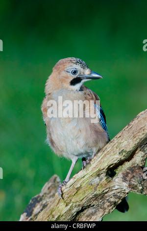 Eurasian jay (Garrulus glandarius), juvenile, perching, south-east England, United Kingdom, Europe - Stock Photo