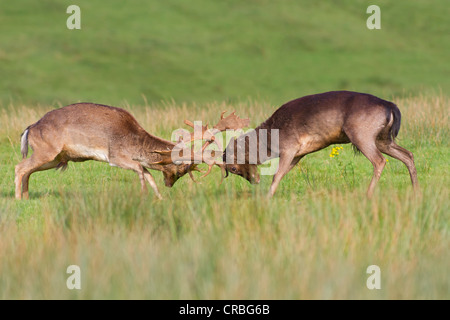 Fallow deer (Dama dama), bucks fighting in grass, south Wales, United Kingdom, Europe - Stock Photo