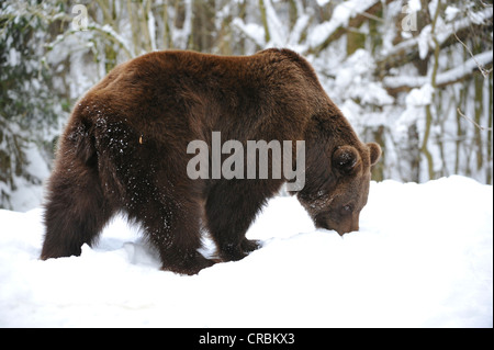 Brown bear (Ursus arctos) is searching for food in the snow - Stock Photo